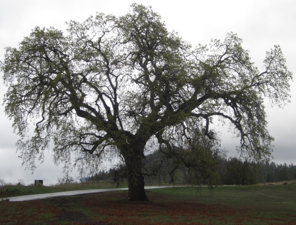 Grandfather Oak